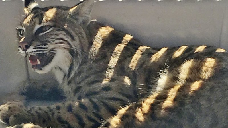 Colorado woman puts injured bobcat in vehicle with her child