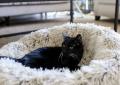 black tripawd cat