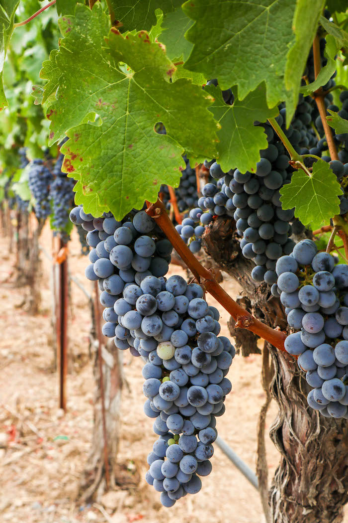 wine country grapes
