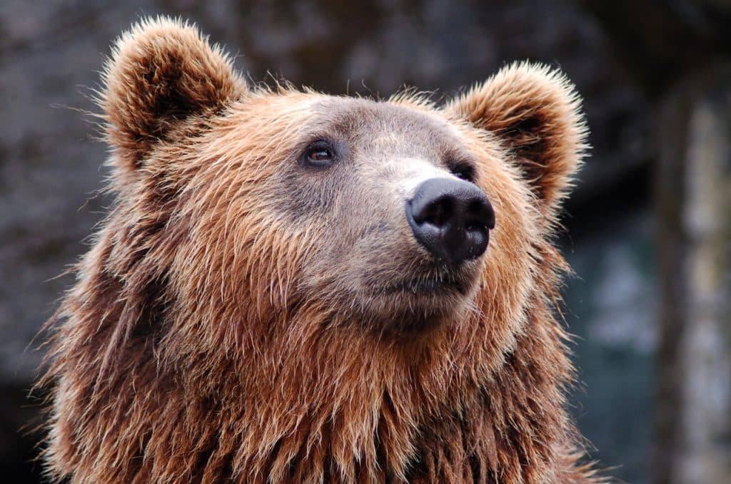 A large Grizzly bear