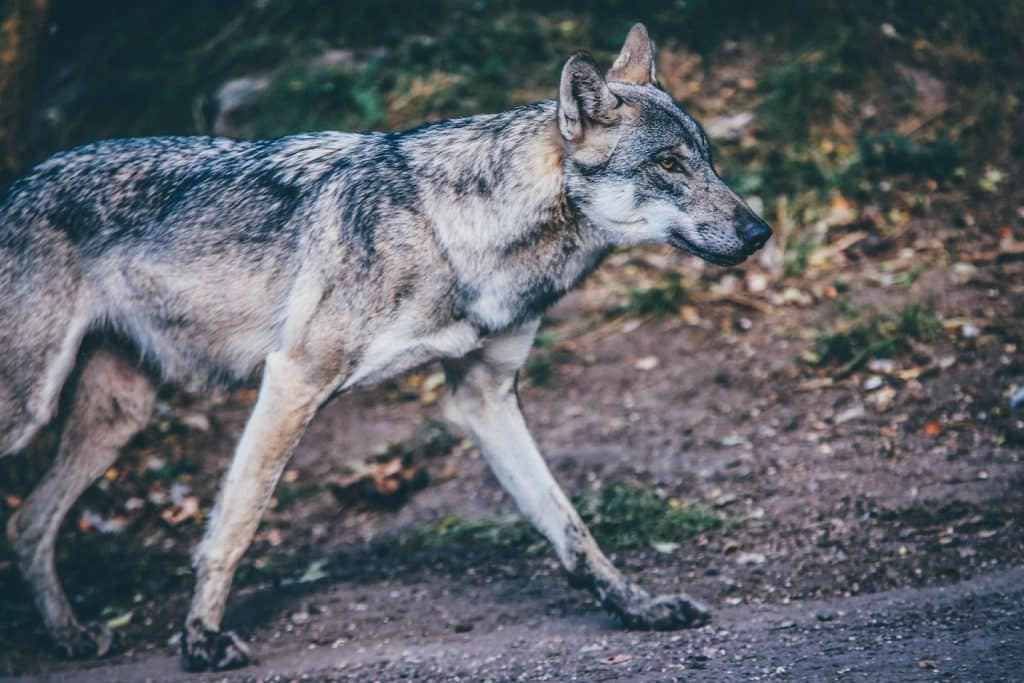 wolves in american ecosystems