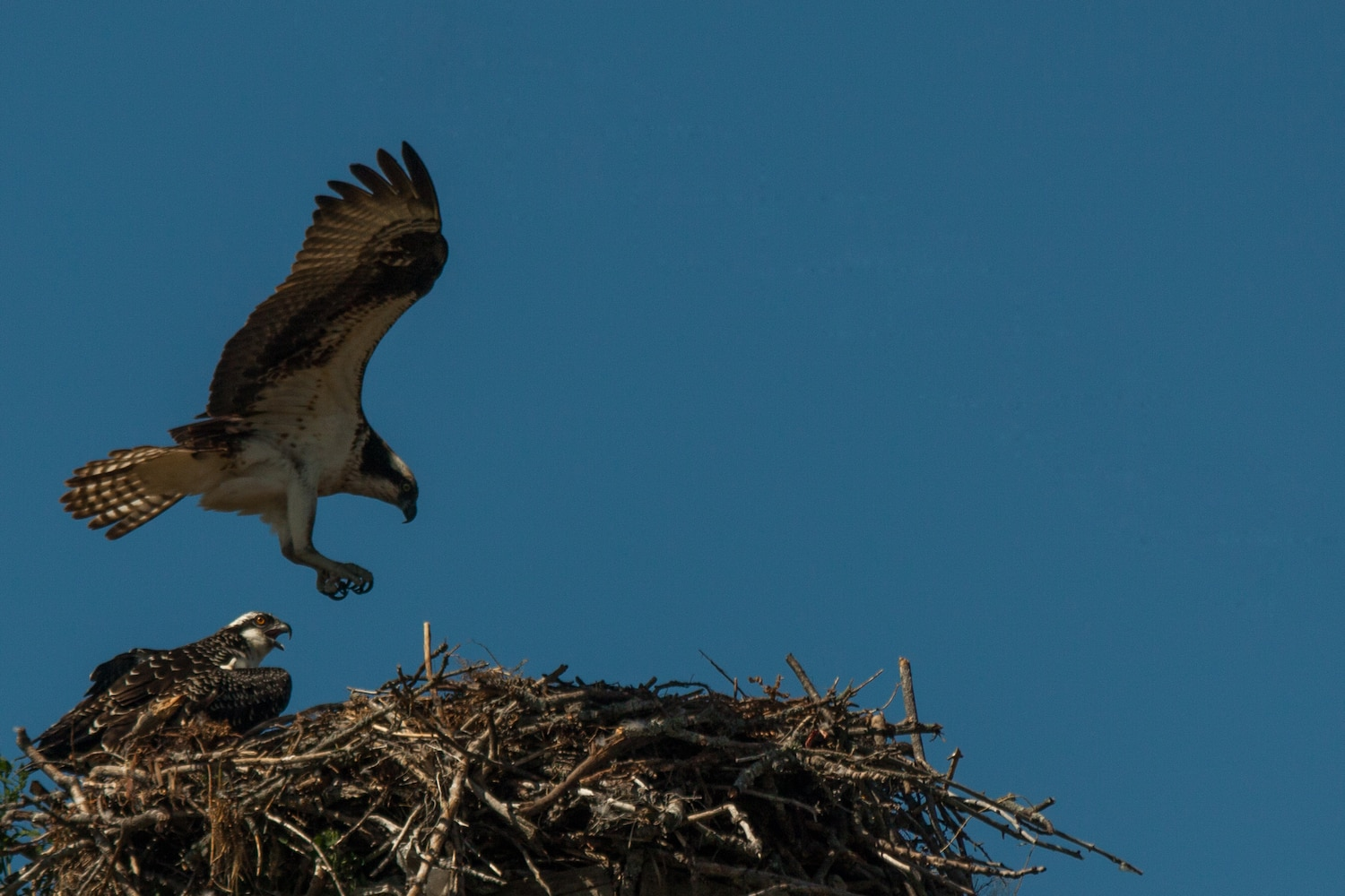 One osprey sits in a nest while another one comes in for a landing. Garden, MI, USA.