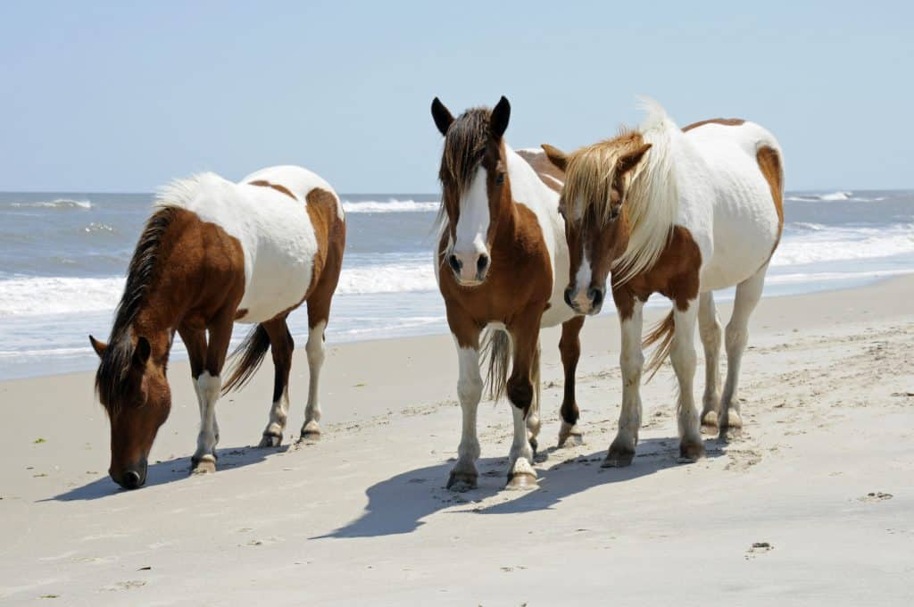 The wild horses of Assateague Islands roam free along the beach of this barrier island in Maryland. These horses are said to be descendants of horses brought to islands along the coast in the late 17th century. Visitors can walk along the shore and see these animals in their natural environment. - Wild horses in the united states