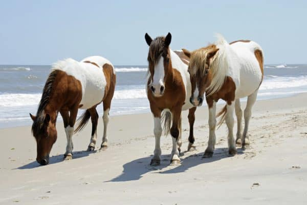 The wild horses of Assateague Islands roam free along the beach of this barrier island in Maryland. These horses are said to be descendants of horses brought to islands along the coast in the late 17th century. Visitors can walk along the shore and see these animals in their natural environment.