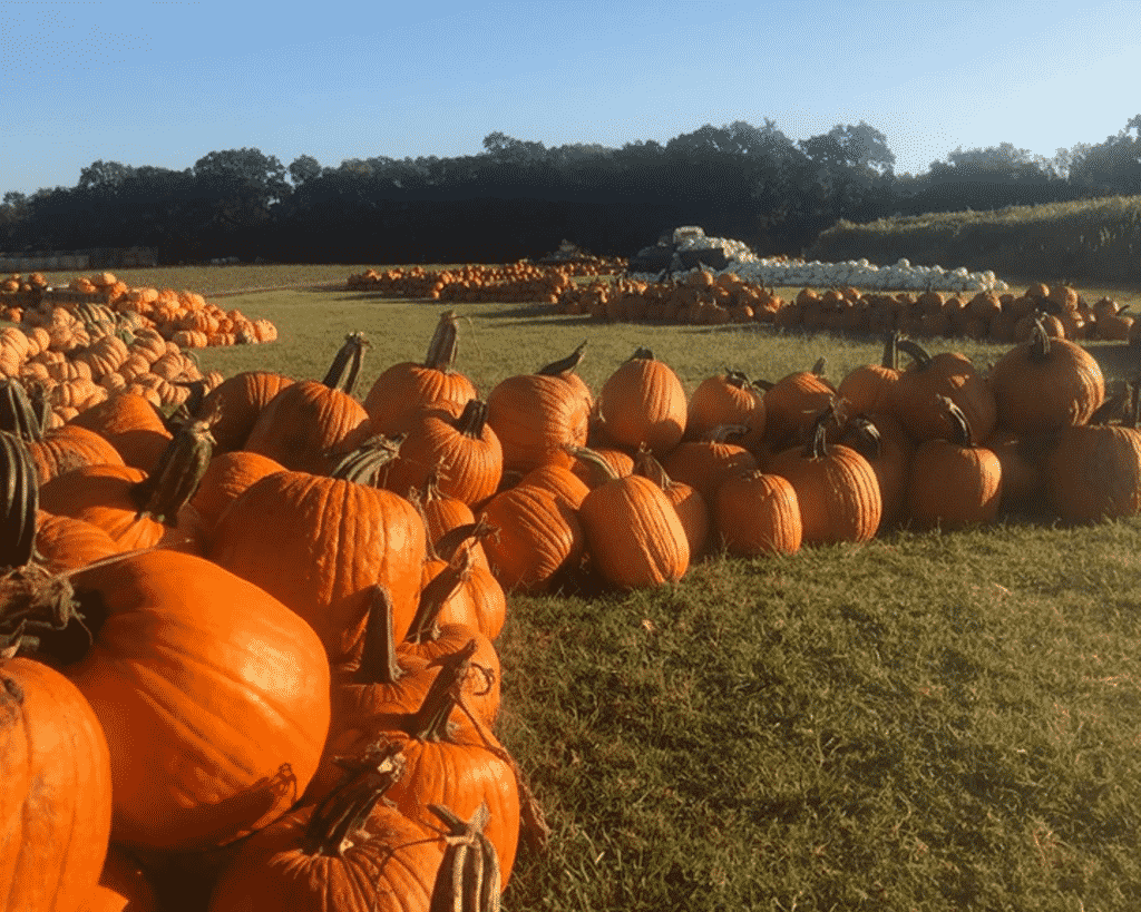 Pumpkins for sale at Sweet Berry Farms