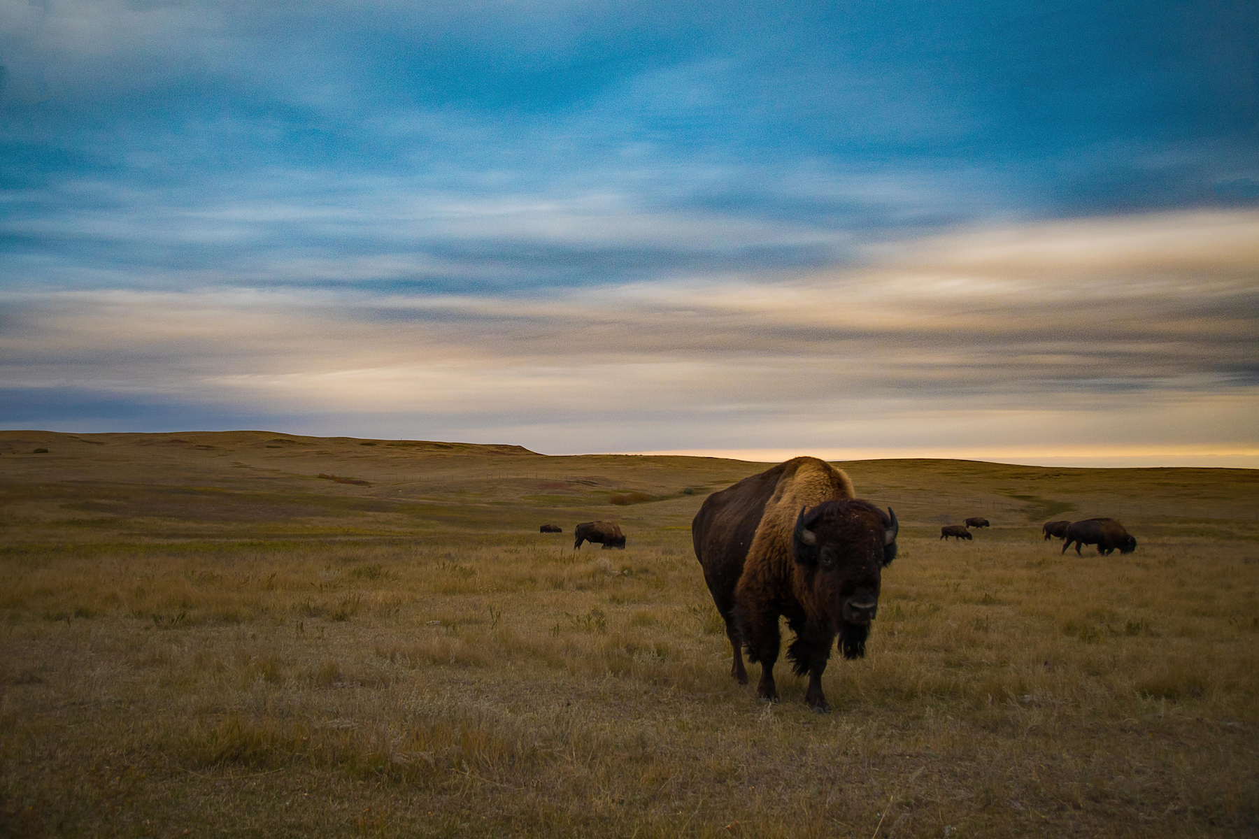 Throughout both the North and South block of Theodore Roosevelt National park are wild bison that graze the plains and badlands.