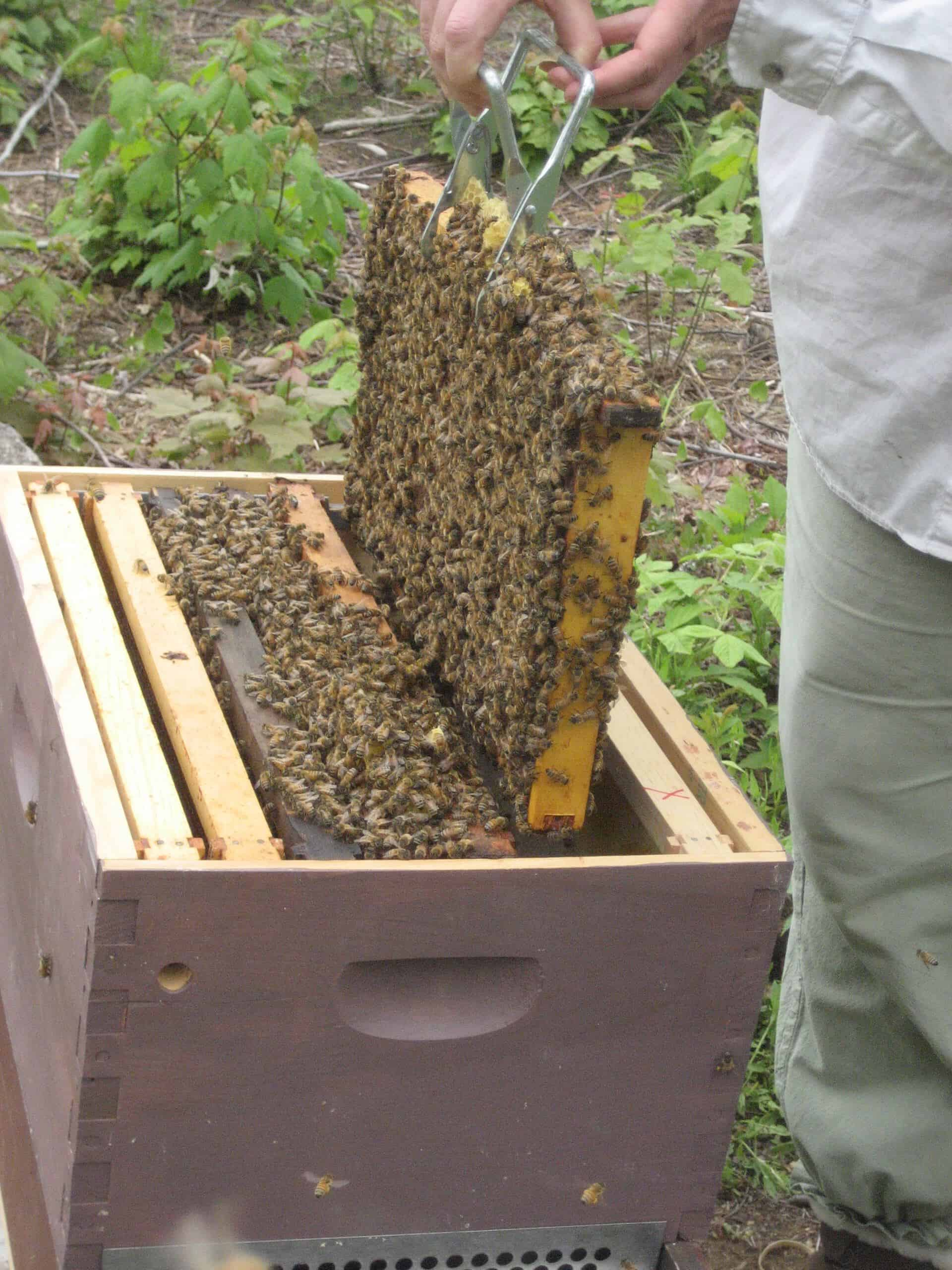 Beekeeping in Maine