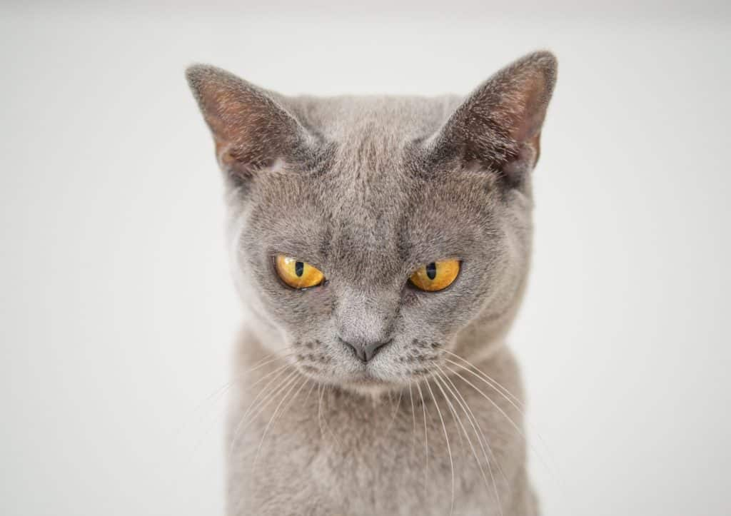 angry-cat-emotional-reaction