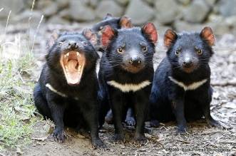 Demonio de Tasmania. Redes