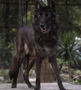 Ámarok se unirá a una manada en el Colorado Wolf and Wildlife Center, un espacio en inmediaciones de Denver (EE.UU.), dedicado a la educación y el rescate de esta especie. EFE