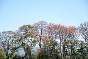Los árboles de poró de la Finca 3 tienen más de 40 años y muchos de ellos presentan signos de deterioro (foto Laura Rodríguez).