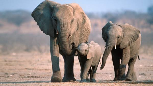 fotos de elefantes africanos