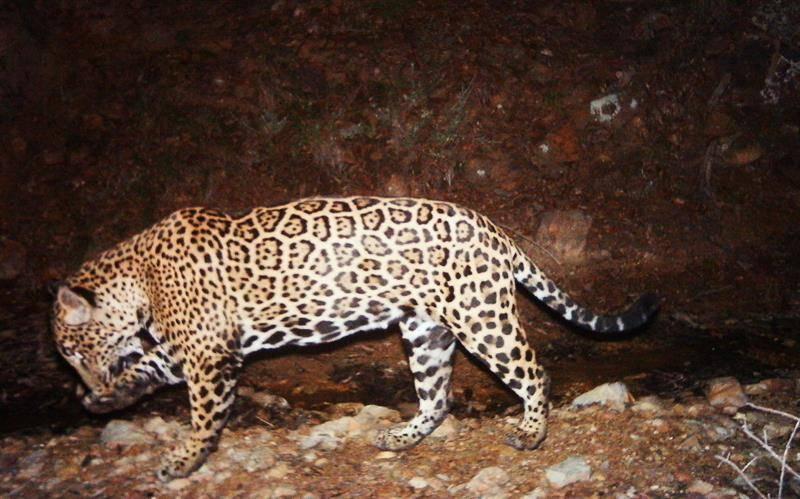 """Jaguar """"El Jefe"""". Imagen cedida por el Servicio Estadounidense de Pesca y Vida Salvaje (USFWS)."""