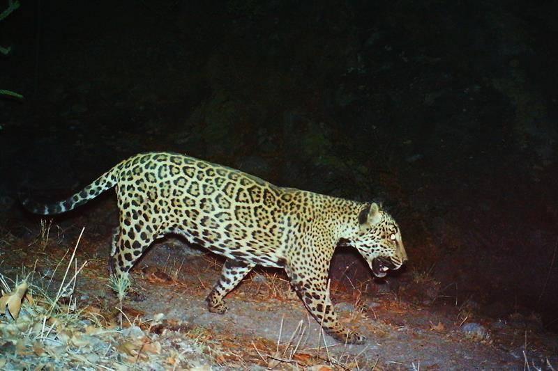 Jaguar El Jefe. EFE