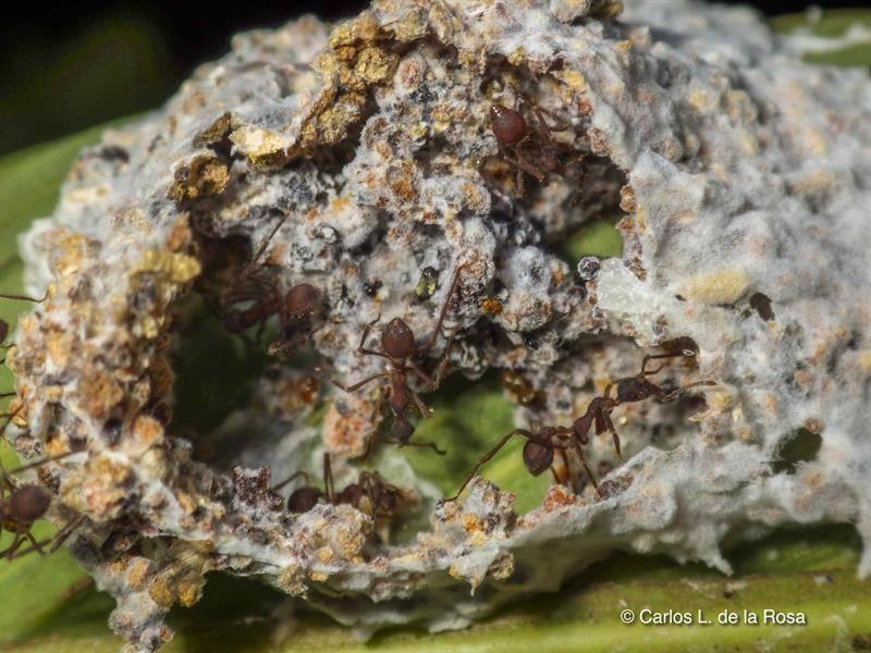 Fotografía sin fechar cortesía de Carlos de la Rosa, director de la estación biológica La Selva, Costa Rica, que muestra un nido abierto de hormigas del género Apterostigma.