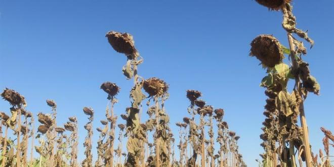 Vista de campos de cultivo de girasol afectados por la sequía en Cuatro Cañadas (Bolivia). EFE