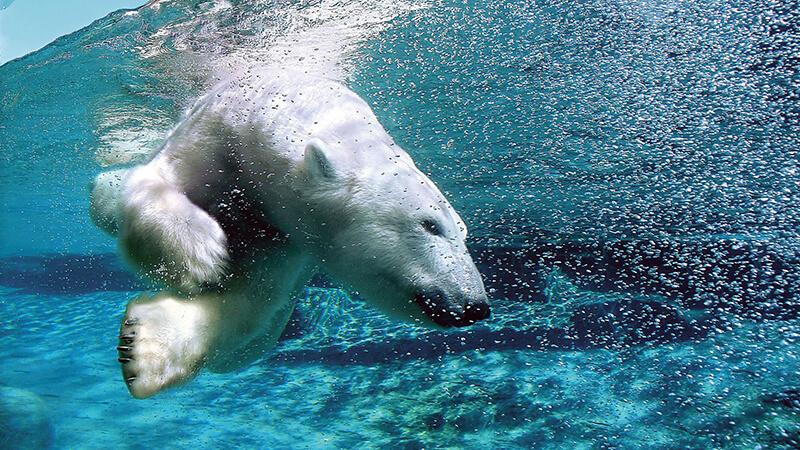 Urso polar no Aquário de Quebec