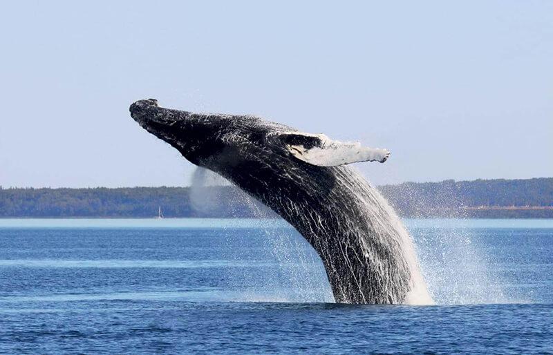 Animais da observação de baleias em Quebec