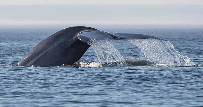 Proximidade da observação de baleias em Quebec