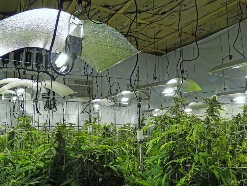 Example of working indoor grow room set up by Genesis Pharms.