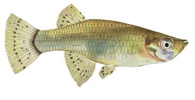 Female Mosquito Fish
