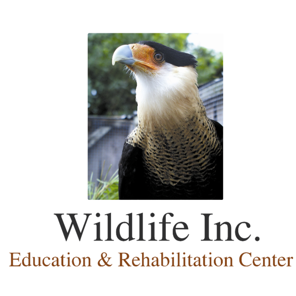 SOS – Ducklings saved thanks to Wildlife, Inc on Anna Maria Island