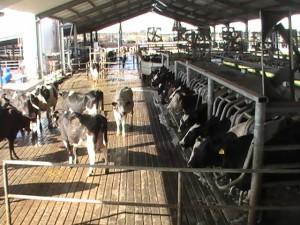 Dakin Dairy Farm Cows