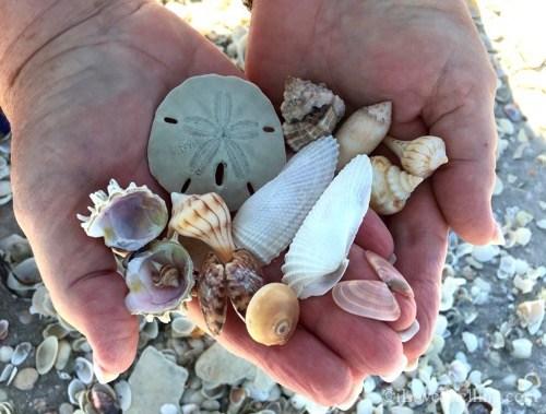 How to Clean Seashells: Anna Maria Island Insider Tips