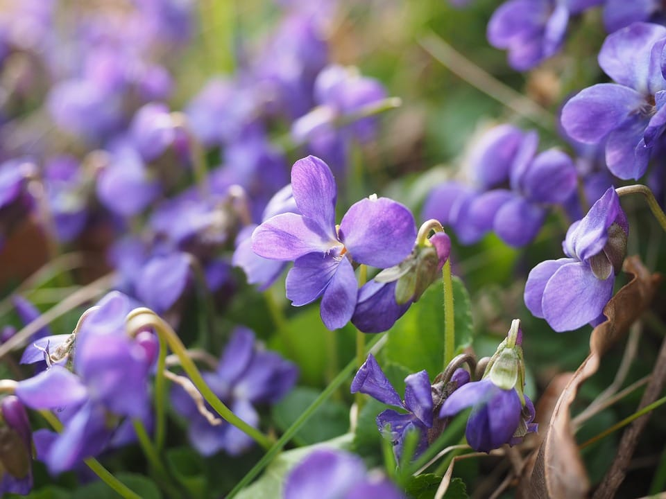 Scented Violets for a Wedding Day bouquet
