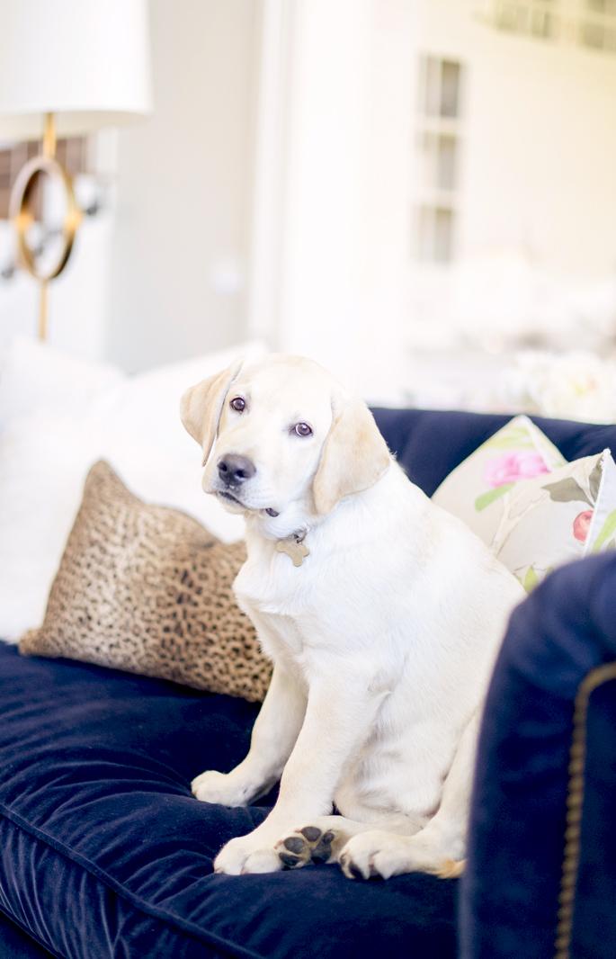 yellow-lab-puppy