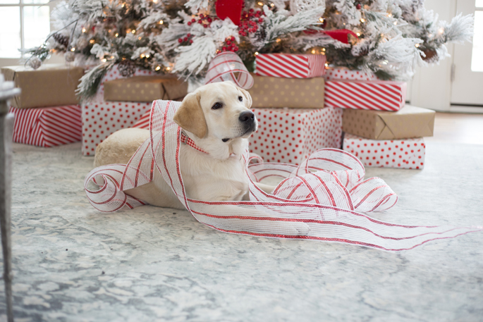yellow-lab-puppy-christmas-time