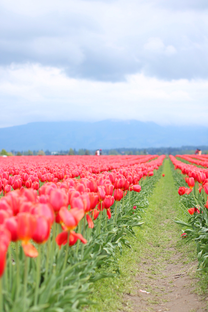 washington-skagit-valley-tulip-festival
