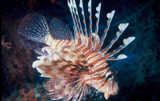 Lionfish Removal in Pensacola