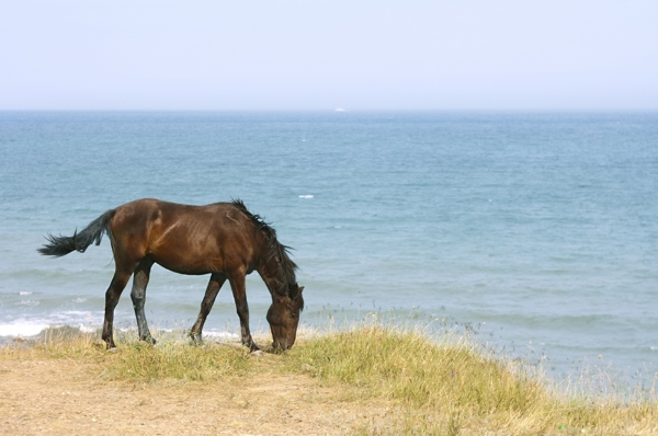 Horse browsing on the pasture in front of the sea