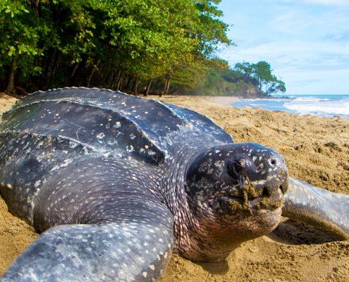 leatherback sea turtle in Tamarindo