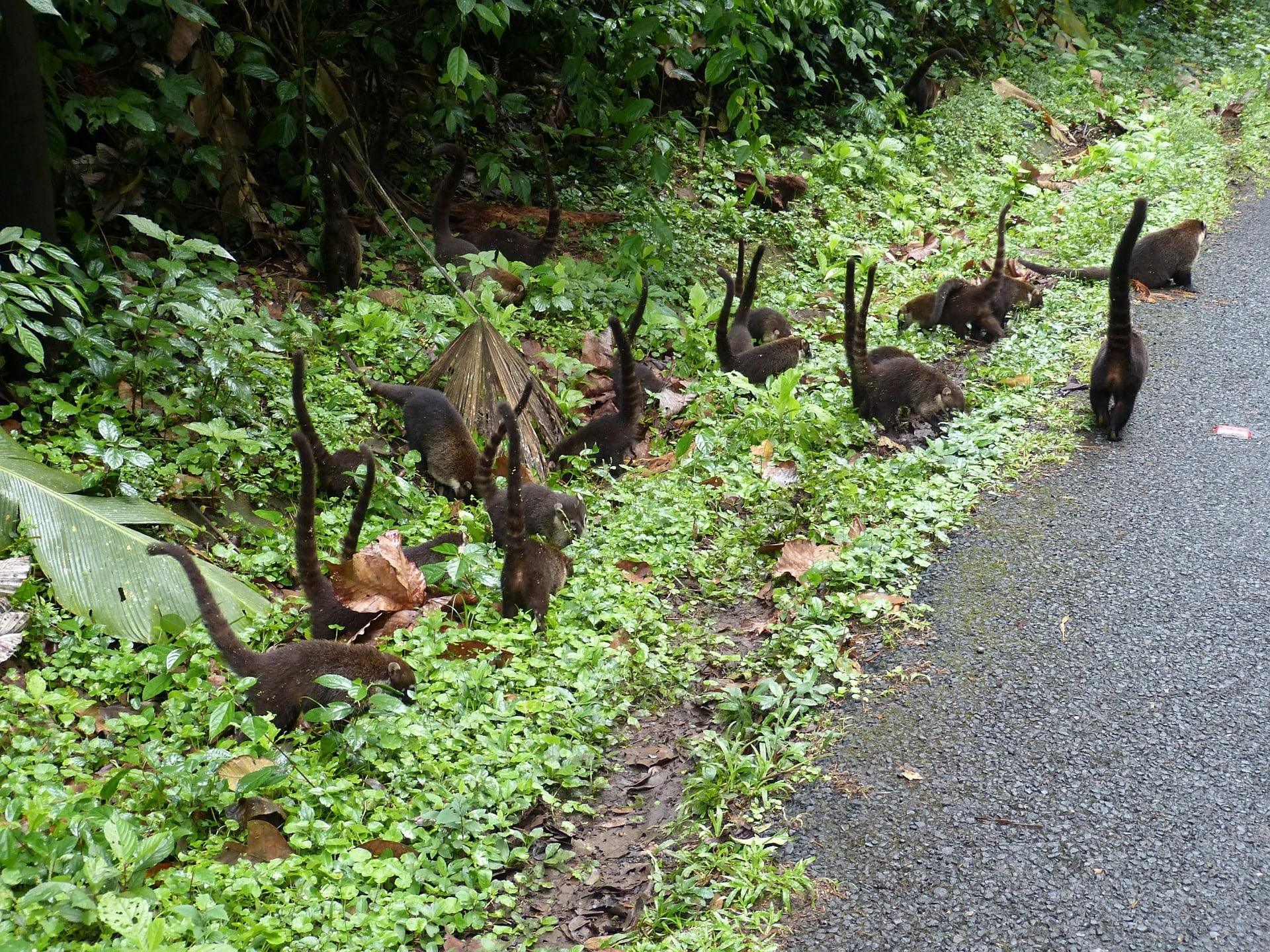 coatis in Costa Rica