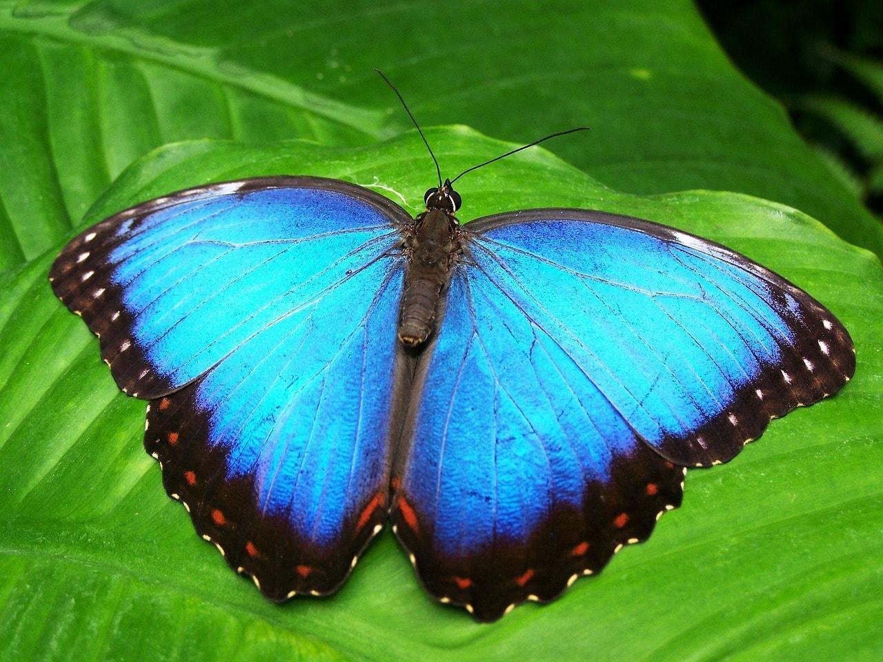 blue morphos are popular at Diria National Park