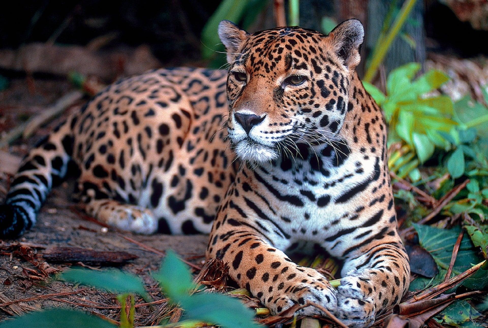 jaguar Panthera onca-min