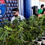 California Bill Might Open Door to Bank Services for Marijuana Industry