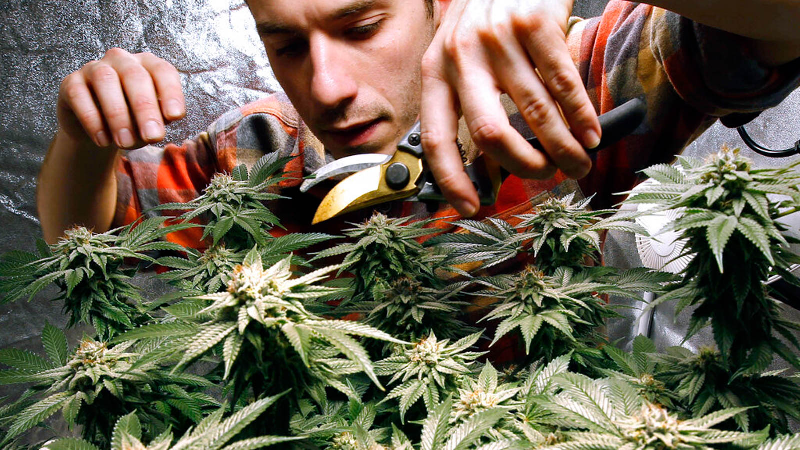 Тайны марихуаны конопля и польза от нее