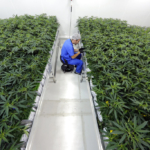 Louisiana Officials Say Medical Marijuana Program is off to a Good Start